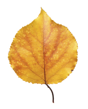 Proofreading Aspen leaf